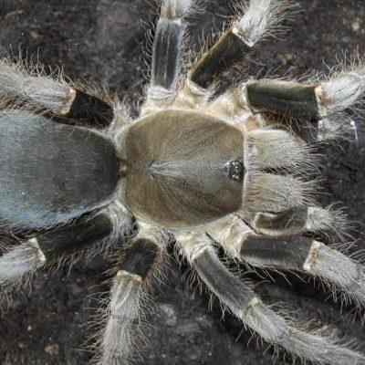 Hysterocrates laticeps