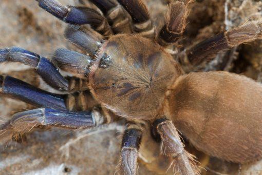 "Chilobrachys sp. ""Cambodia blue"""