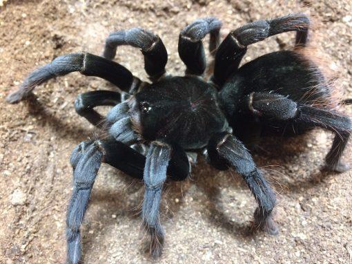 """Pamphobeteus cf. antinous """"big black"""""""