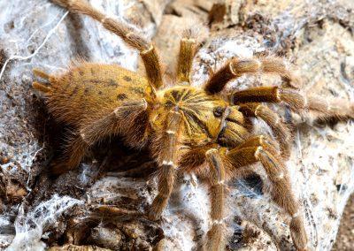 Pterinochilus murinus (Tete, Mozambique)