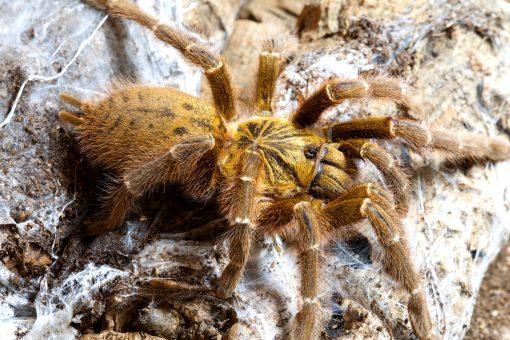"""Pterinochilus murinus """"Tete, Mozambique"""""""