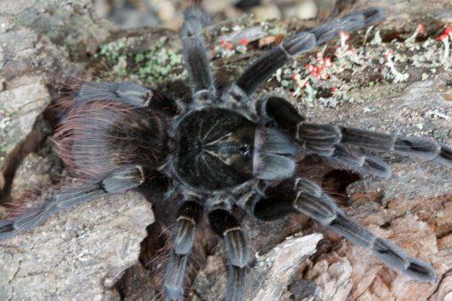 """Pamphobeteus sp. """"nigricolor"""""""