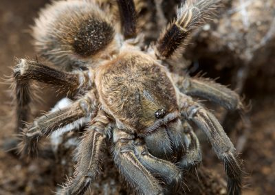 """Theraphosinae sp. """"Peru"""""""