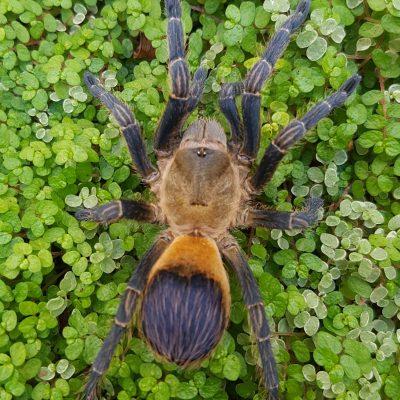 "Pseudhapalopus sp. ""Colombia"""