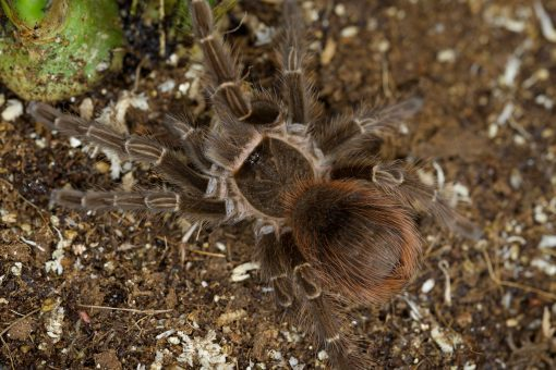 """Acanthoscurria sp. """"red"""""""