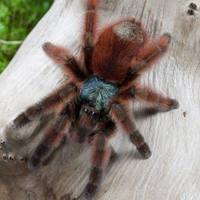 Caribena versicolor