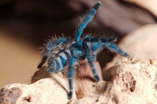 Caribena versicolor spiderling