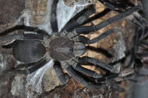 "Chilobrachys sp. ""Saraburi"" adult female"