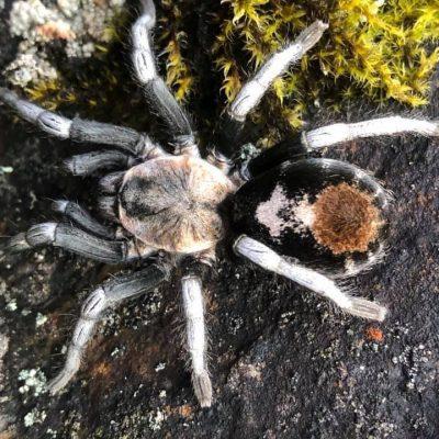 Hapalotremus albipes