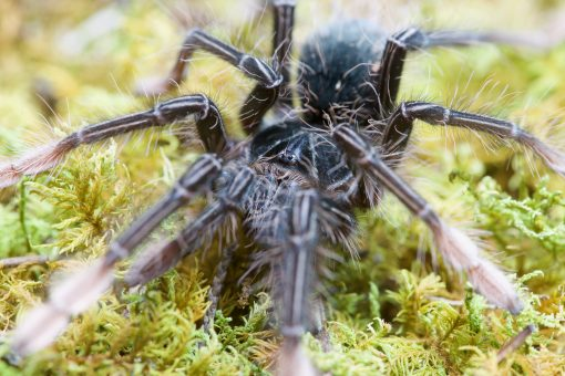 Theraphosa apophysis spiderling